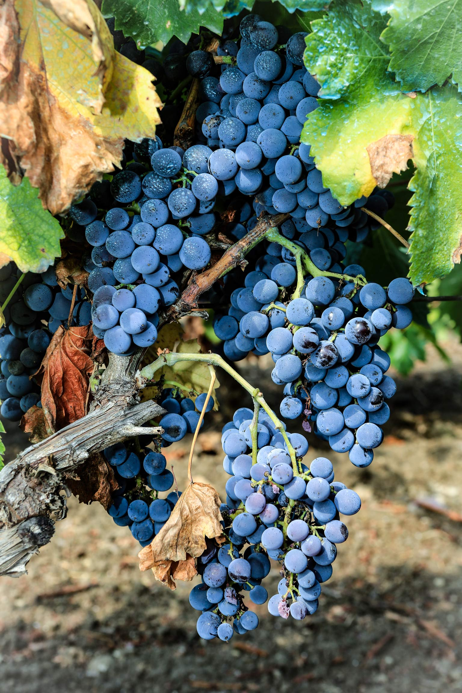 uva rossa, Vigneti a Sorgono in Sardegna - Cantina del Mandrolisai