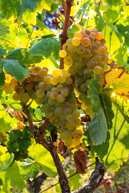 uva bianca, Vigneti a Sorgono in Sardegna - Cantina del Mandrolisai