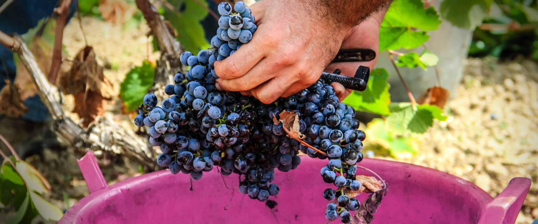 Raccolta uva, vino rosso Cannonau, Cantina del Mandrolisai
