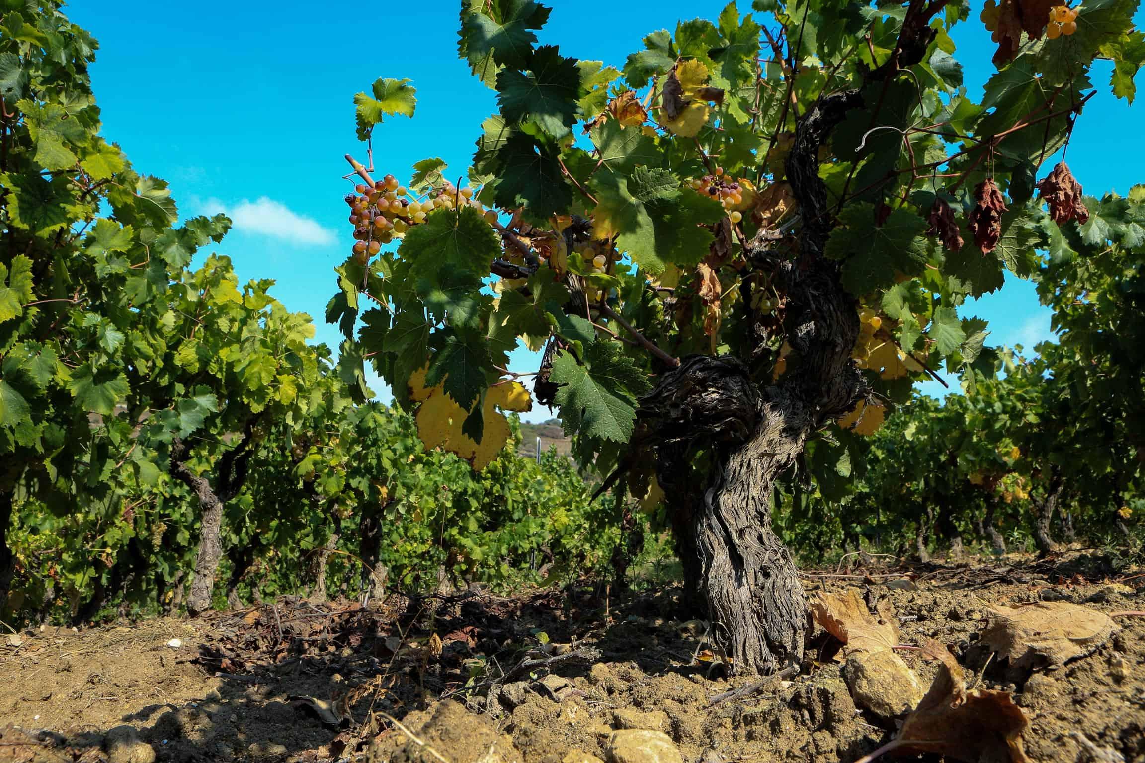 Vigneto uva bianca - Mandrolisai Sardegna