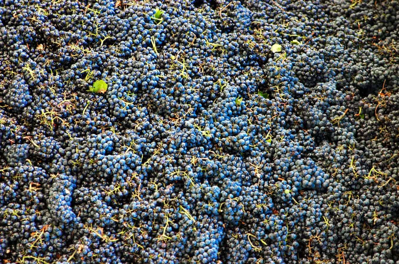 uva, Vigneti a Sorgono in Sardegna - Cantina del Mandrolisai